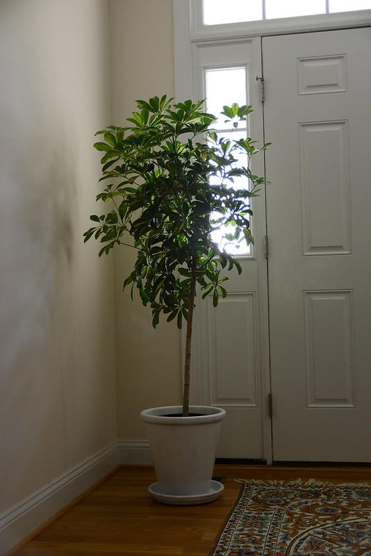 Shefflera Trees