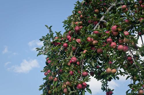 Apples-0119