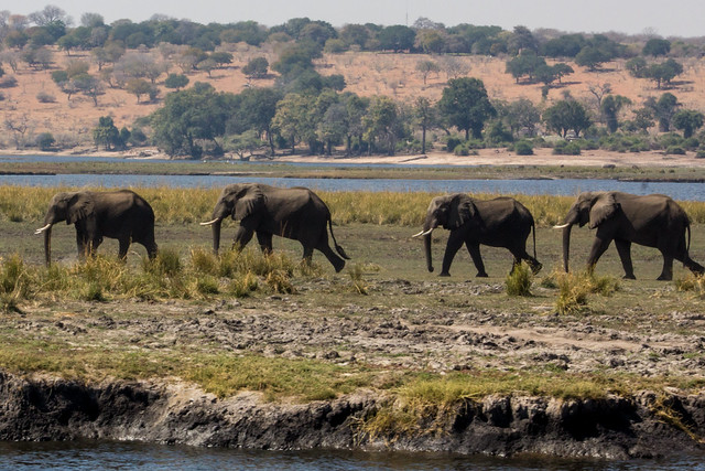 Elephants in a Line - Chobe Safari - Botswana