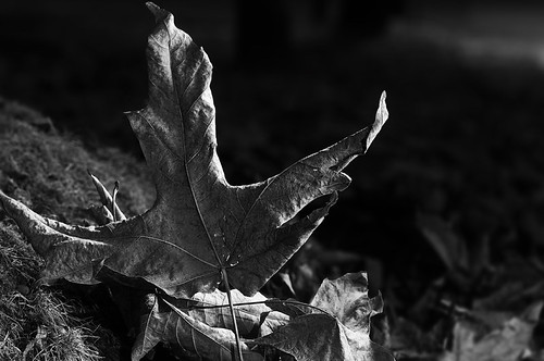 Grey Leaf by petetaylor