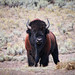 Wild-Bison-at-Lamar-Valley-in-Yellowstone-National-Park-Wyoming
