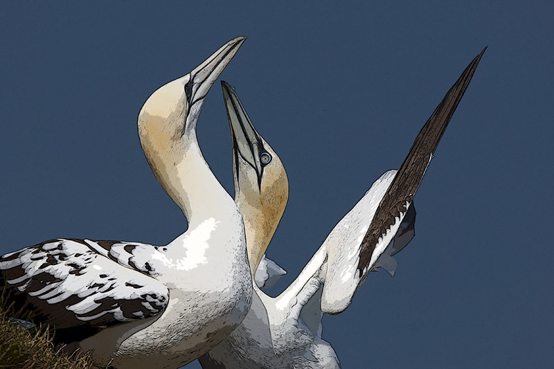 Gannets - poster-edged
