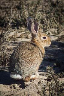 Bolsa Chica Rabbit