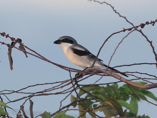 Loggerhead Shrike 20121003