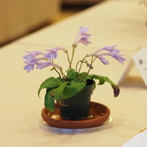 Streptocarpus lilliputana