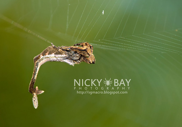 Scorpion-tailed Orb Weaver (Arachnura sp.) - DSC_5930