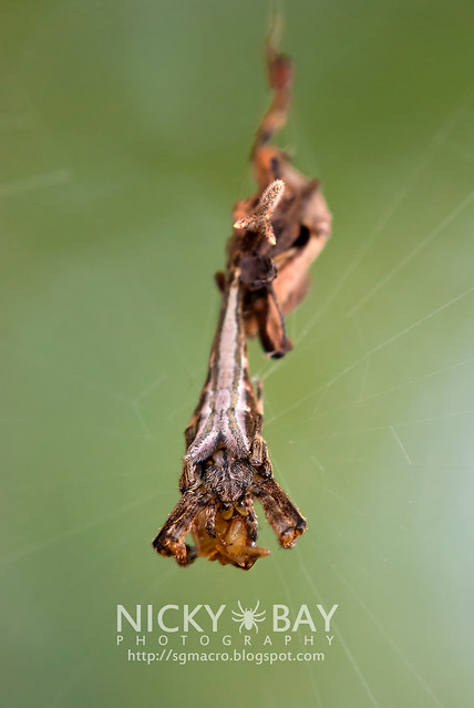 Scorpion-tailed Orb Weaver (Arachnura sp.) - DSC_5891