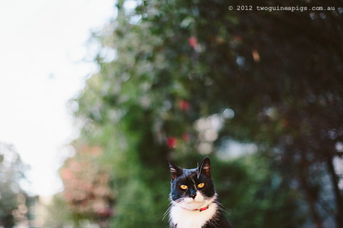 Rambo the Cat by twoguineapigs Pet Photography [10]