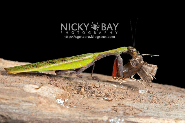 Praying Mantis (Acromantis sp.) - DSC_5601