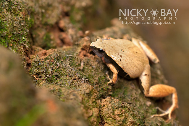 Dark-sided Chorus Frog? (Microhyla heymonsi) - DSC_4877