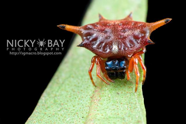 Spiny Back Orb Weaver Spider (Gasteracantha sp.) - DSC_4327