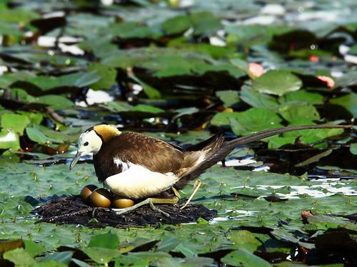 水雉雄鳥窩巢;圖片來源:台南市水雉生態園區、攝影:翁榮炫。