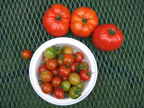 Columbus Day weekend tomato harvest