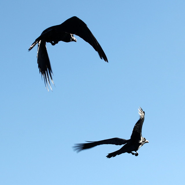 Ravens in flight - Alaska Wildlife Conservation Center near Anchorage