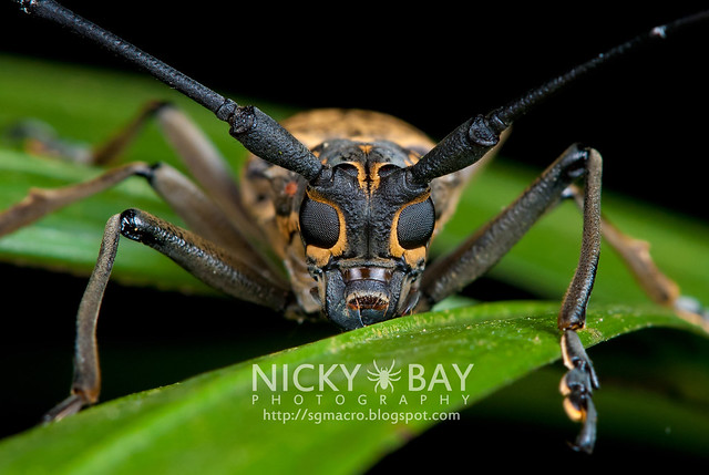 Longhorn Beetle (Epepeotes luscus) - DSC_2043