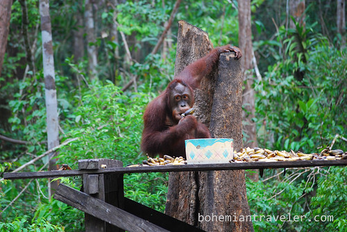 orangutan at Tanjung Putting National Park Indonesia (17)