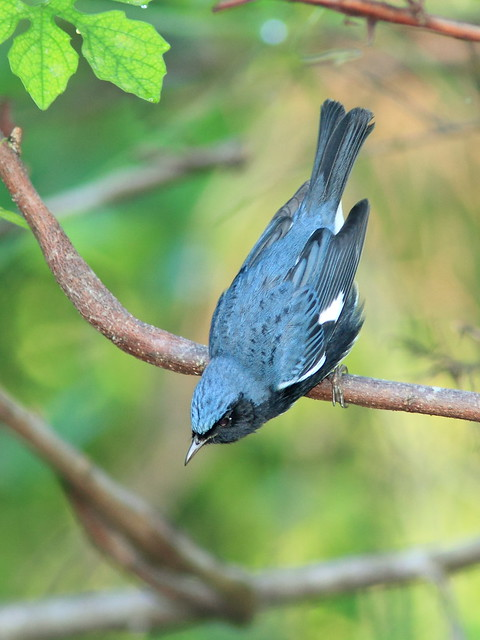 Black-throated Blue Warbler male 20121009