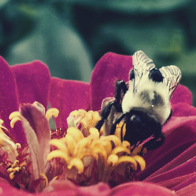 Bumblebee and Zinnia