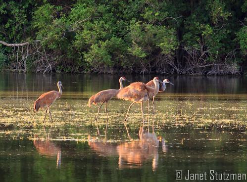 Sandhill Cranes on the Fox River, Burlington, WI.