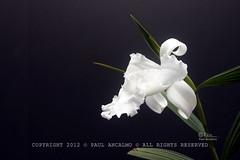 Sobralia macrantha forma alba