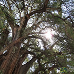 Widest Tree in World - Santa Maria del Tule, Oaxaca