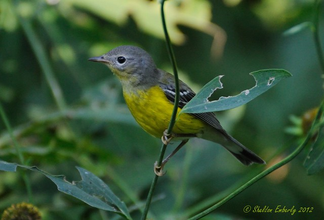 magnolia warbler fall - photo #6