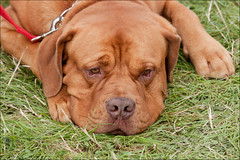 broholmer(0.0), dog breed(1.0), animal(1.0), dog(1.0), dogue de bordeaux(1.0), tosa(1.0), pet(1.0), guard dog(1.0), carnivoran(1.0),
