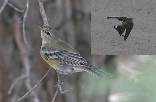 bird colorado pinewarbler dendroicapinus setophagapinus