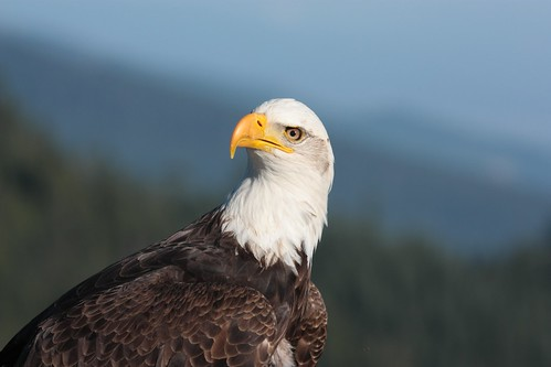 Eagle by theducks