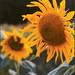 Pocono Sunflower