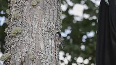 Black Capped Chickadee Study