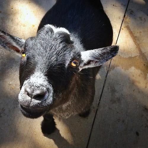 sassy goats
