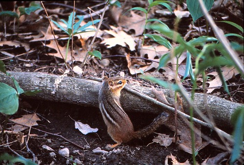 IMG_00082_Chipmunk_at_Olin_Lake_Nature_Preserve_June_1983