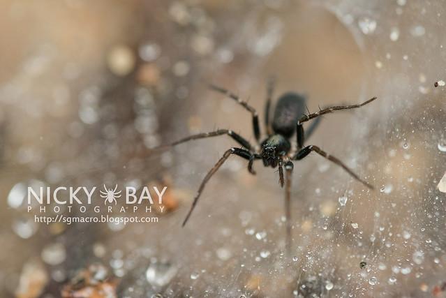 Wolf Spider (Lycosidae) - DSC_4782