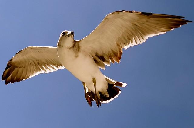Sea Gull (1)