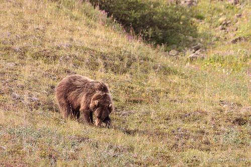 Grizzly bei der Nahrungssuche