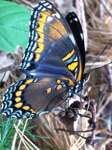 butterfly waynecounty waynecountypa campstbasil campsaintbasil topdog5757
