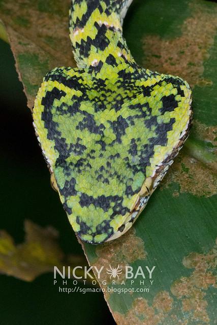 Wagler's Pit Viper (Tropidolaemus wagleri) - DSC_3806