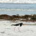 Australian Pied Oystercatcher, Bremer Bay (Peter Taylor)