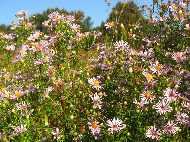 Michaelmas Daisies on Pryors Field