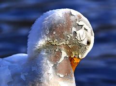 Rusting Duck
