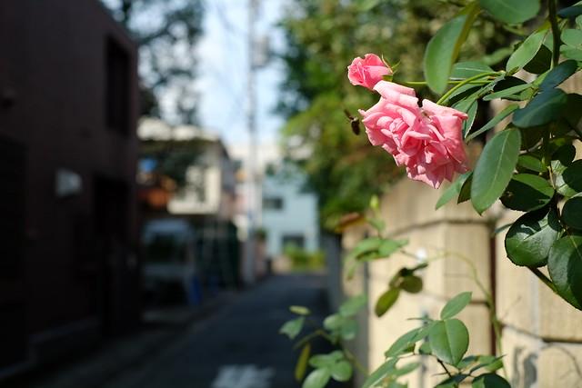 路地脇のバラ