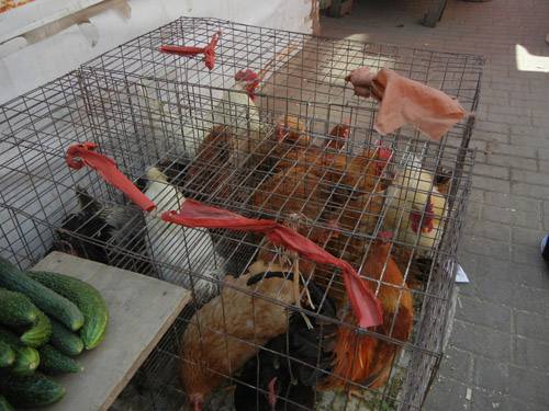 Live Chickens in Cage in Farmer's Market, Shenyang, China _ 0446