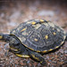 Tiny Turtle - Eastern Box Turtle - Terrapene carolina carolina