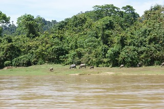 Some buffalos resting closed to the river