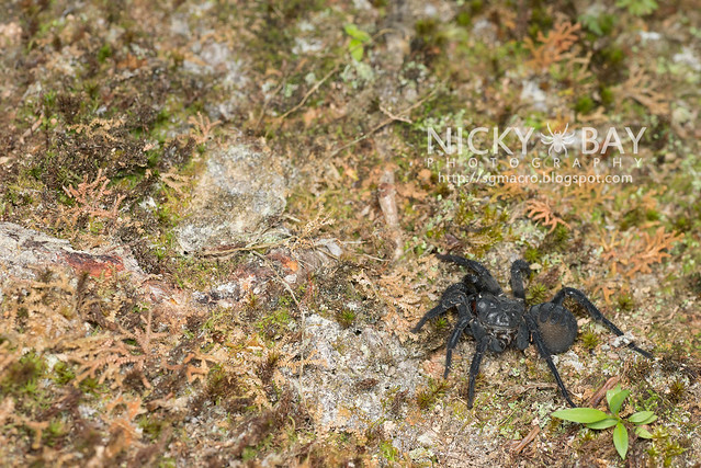 Black Armoured Trapdoor Spider (Liphistius malayanus) - DSC_6271