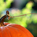 autumn - early morning pumpkin by barbara carroll