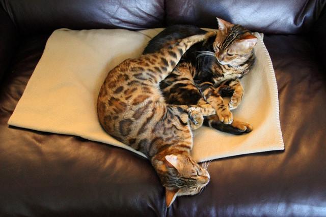 Cuddling Bengals