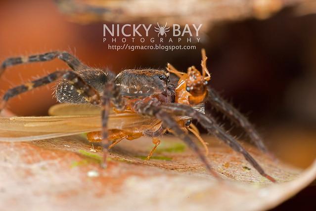 Huntsman (Sparassidae) with 2 Barklice - DSC_8788