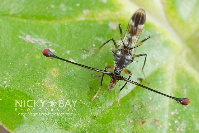 Stalk-Eyed Fly (Diopsidae) - DSC_8249
